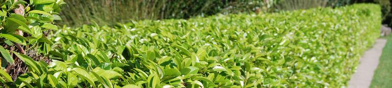 Prunus laurocerasus, eine giftige Pflanze